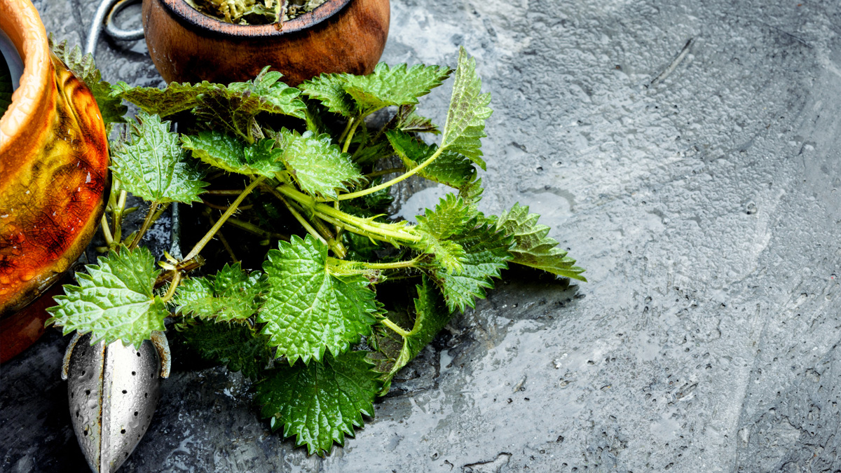 Fresh nettle leaves