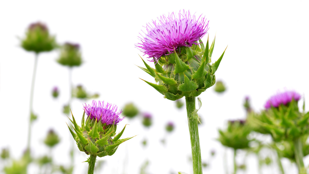 Photo of milk thistle plants